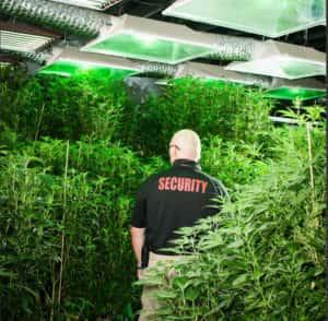 Los dispensarios de marihuana necesitan seguridad armada